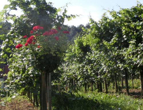 Was hat der Corona Virus mit 2 Obstbauern zu tun?
